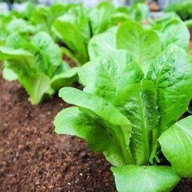Little Gem Lettuce Plants - 4 for £5