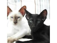 Missing siamese black oriental cat