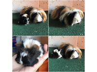 Long haired Guinea Pigs mother & daughter