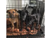 Staff cross puppies for sale