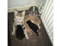 2 stripey black kittens for sale