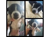 JR cross puppies for sale