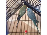 2 Ringneck Parakeets for sale - RUNCORN