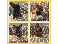 French bulldog Frenchie puppys *reduced* ready now