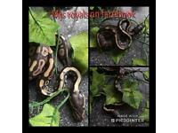 Cb18 mojave royal pythons