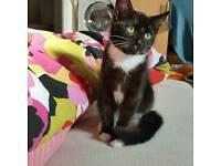 Very friendly black 11 week kitten for sale