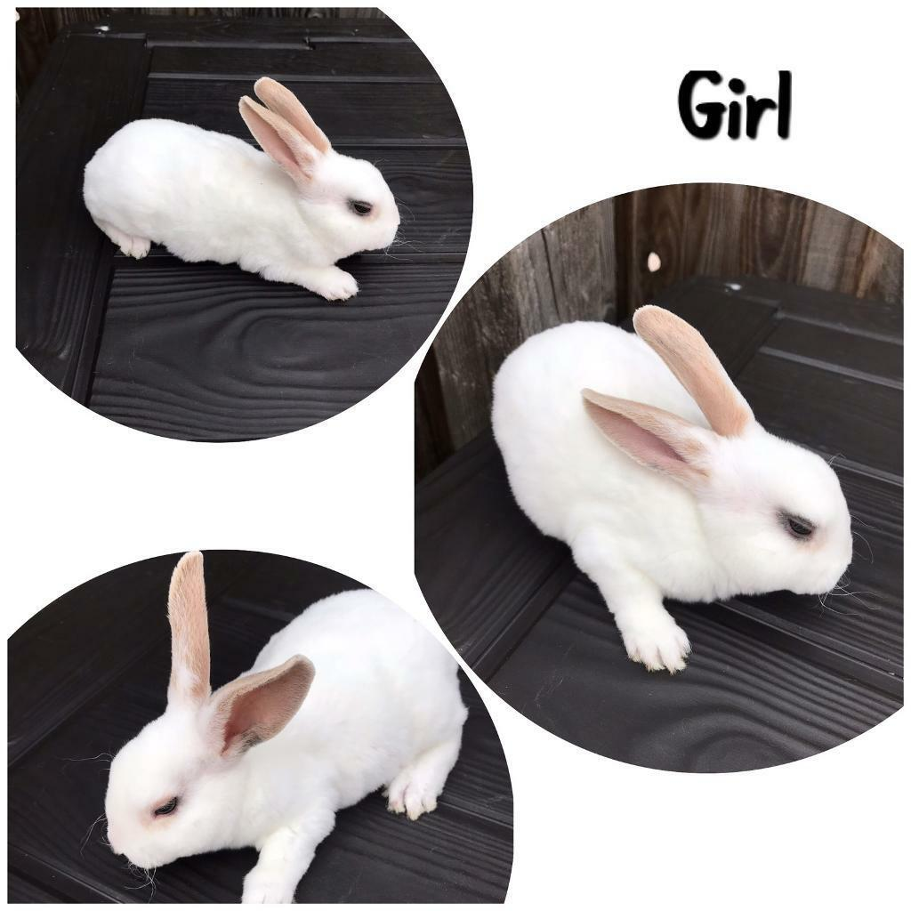 2 Mini rex baby girl rabbits left | in Hoo, Kent | Gumtree