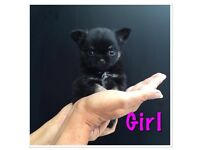 Stunning chihuahua puppies READY NOW