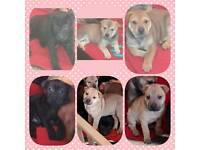 6 adorable female shar pei x puppies
