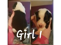 3 black and white border collie puppys for sale