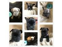 Blue french bulldog | Dogs & Puppies for Sale - Gumtree