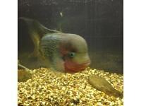 Very large S/American Cichlid, Vieja Quetzal Flowerhorn Hybrid