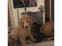 Male apricot poodle puppy for sale