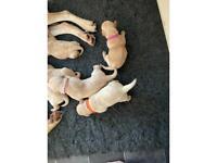 3 x yellow Labrador Bitches