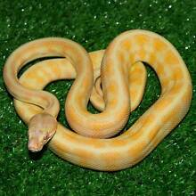Albino Darwin Carpet Python Hatchlings Howard Springs Litchfield Area Preview