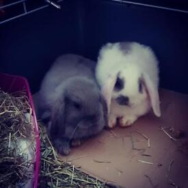 Baby house trained rabbits for sale with cage and all supplies needed