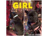 Seven French bulldogs puppies for sale