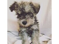 F1 -- Schnoodle Puppies