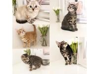 Beautiful Outstanding Kittens 8 weeks old