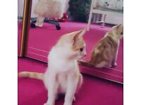 Adorable and Playful Kitten for sale to loving home