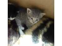 Gorgeous kittens ready mid august
