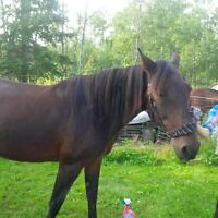 Standardbred Canadian Cross Mare