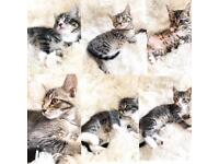 💖😍Beautiful kittens Ready now 8 weeks old😍💖