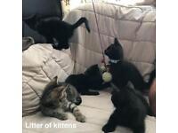 Burmese x kittens updated 17/8/18