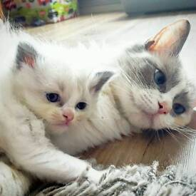 Pedigree Ragdoll Kittens x2