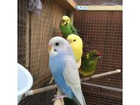 Baby & Adult Budgies (Various Ages)