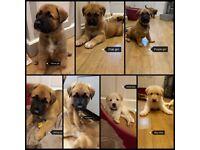 XL German shepherd X Akita puppies