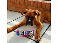 Boxer dog looking for a new home