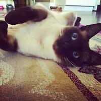 2 year old Siamese looking for a forever home