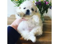 KC reg Quality White Pekingese Puppy