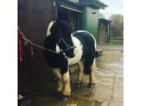 Timmy for part loan - no yard duties - £35 p/w