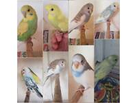 8 Baby budgies for sale