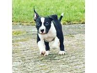 XL American bully pup
