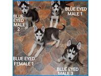Husky Puppies Ready Now