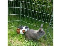 Lovely guinea pigs with cage and accessories