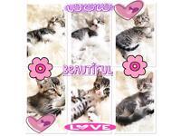 😍💕Beautiful 8 week old kittens ready now 💕😍