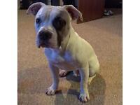 American bulldog pup