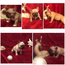 Eastonite French Bulldog Babies for sale ready for homes new year
