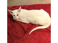 Lovely Oriental White (Foreign White Siamese) Adult looking for good home