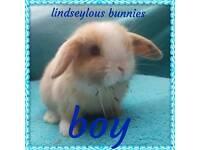 Mini lion lop baby bunnies
