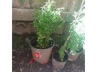 Small Buxus / Box Plant - Outdoor Plant (Reference: P41)