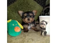 Yorkshire terrier | Dogs & Puppies for Sale - Gumtree