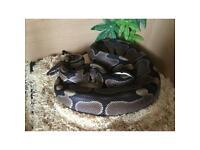 Ball pythons vivs and set ups