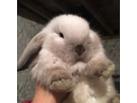 Stunning seal point mini lop bunnies for sale