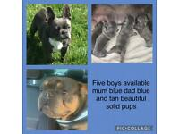 Blue boy french bulldogs and one lsat little girl chihuahua 💗