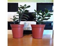 Jade Plant or Money Tree